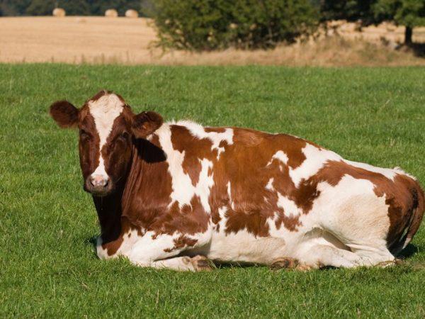 Молочные хозяйства России потратили 100 млн € на закупку крупного рогатого скота в Европе