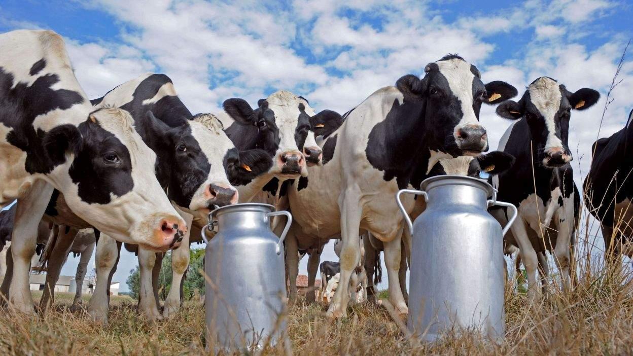 Где в Сибири самые продуктивные коровы?