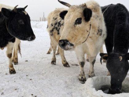 В Якутии возрождают местную породу КРС