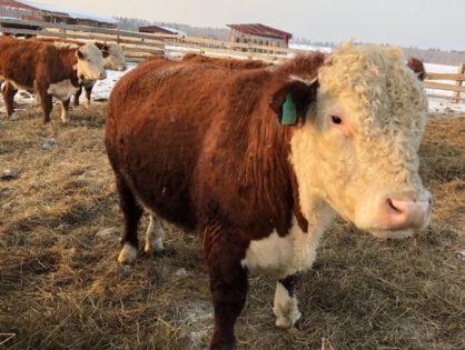 Новосибирские ученые хотят вывести морозостойких коров