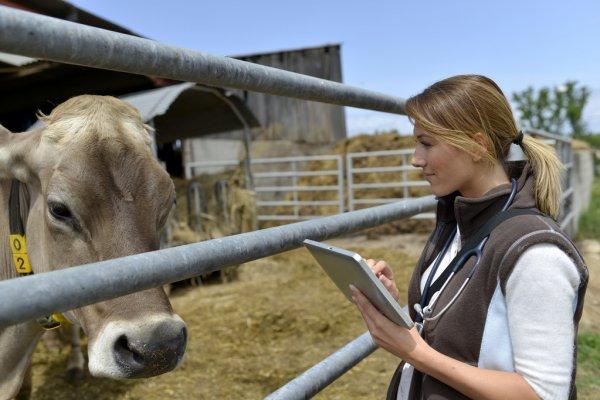 Болезни коров после отела – NEFA и гиперкетонемия не причем?